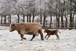 © Licensed to London News Pictures. 13/12/2012. Goring, UK. A Charolais Cross calf, a few days old, runs after it's mum in a frosty field in Goring Heath. Photo credit : Rebecca Mckevitt/LNP