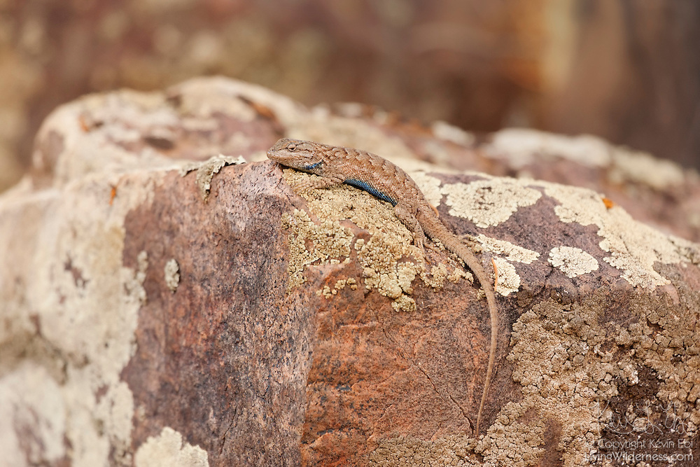 A northern plateau lizard (Sceloporus undulates elongatus) blends in with the rocks along the rim of the Black Canyon of the Gunnison in Colorado. The northern plateau lizard, which lives in rock outcrops and canyon walls, feeds on grasshoppers, crickets, leaf hoppers, flying ants, moths and other insects.