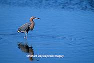 00694-00411 Reddish Egret (Egretta rufescens) J.N. Ding Darling NWR   FL