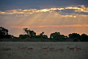 Impalas grazing at dusk in Maasai Mara.