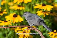 01392-03607 Gray Catbird (Dumetella carolinensis) in flower garden with Black-eyed Susans (Rudbeckia hirta) Marion Co., IL
