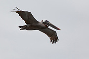 A brown pelican (Pelacanus occidentalis) in flight. Ecuador.