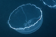 Stingless Jellyfish evolved in isolated Jellyfish Lake.Palau, Micronesia