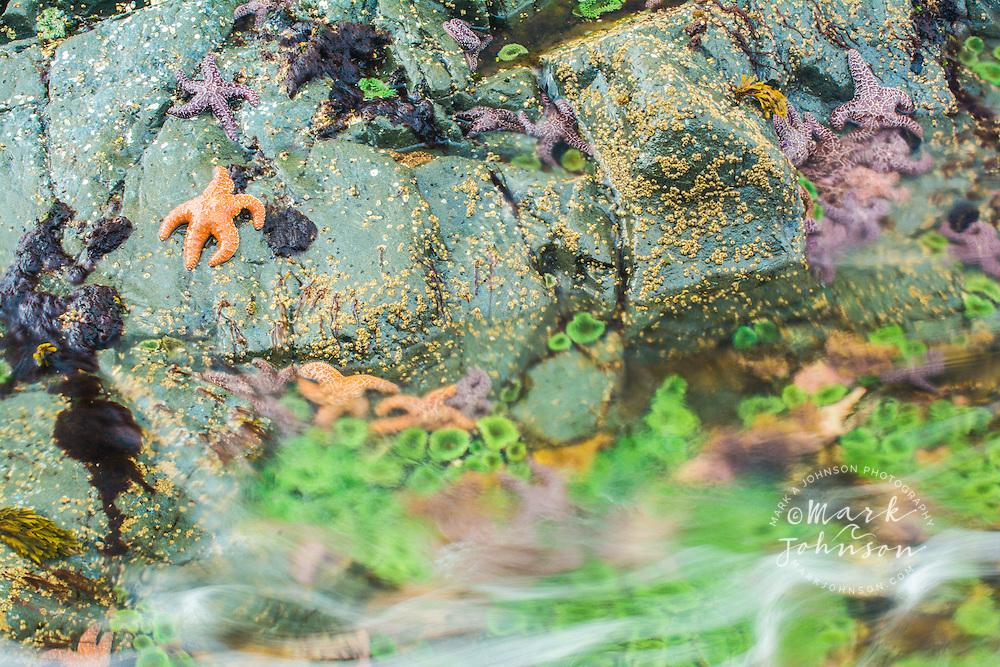 Starfish and anemones along the shore of Bamdoroshni Island off the coast of Sitka, Alaska, USA