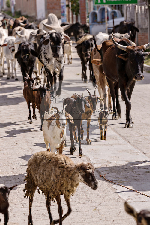 A mix of cattle, goats and sheep are herded down a village street by Mexican cowboys November 5, 2014 in Yaguar, Mexico.
