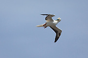 Red-footed Booby, preening in flight, Kilauea Point, Kaua'i
