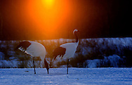 Two red-crowned crane at sunrise, Hokkaido, Japan