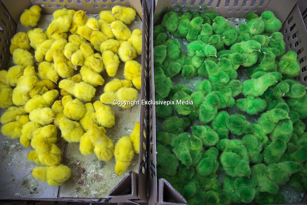 Nov. 3, 2015 - East Jakarta, Jakarta, Indonesia - JAKARTA, INDONESIA,<br /> <br /> Coloured Chicks for sales in Indonesia<br /> <br /> Coloured pould at A Market in DI Panjaitan Street - Jakarta. To attract buyer especially kids, seller at a market in Jakarta coloured the poult with several colour from yellow, red, purple, and blue. The colour attracted kids want to have the poor poult, they sell it with price Rp. 1,500 (around 1 cent). Some of the kids who buy the poult because of the colourfull it is, some times squeeze it to death. According to the seller, the colour applied to the poor poult is not dangerous. <br /> ©Exclusivepix Media