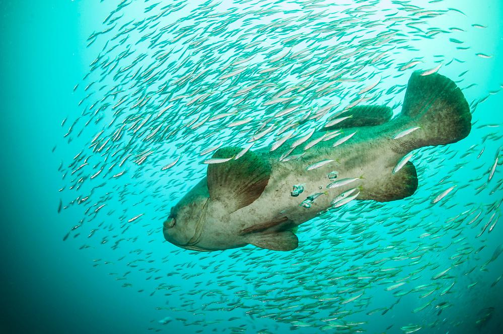 Goliath Grouper, Epinephelus itajara, and Cigar Minnows, Decapterus punctatus, swim near the shipwreck of the Mispah offshore Singer Island, Florida, United States. Fish displaying white breeding coloration.