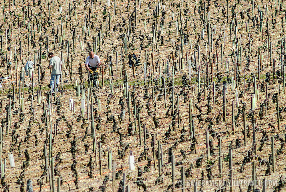 Rows of young vines in an old French vineyard in Chablis