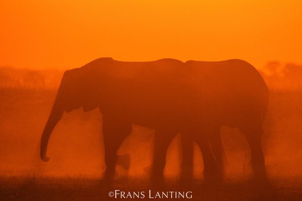 African elephants at dusk, Loxodonta africana, Okavango Delta, Botswana