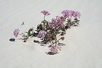 The sand verbena (sometimes also called the purple or pink sand verbena) is a very hardy, heat-resistant desert survivor in the American Southwest. Not many plants survive in the gypsum sands desert of White Sands National Monument in Southern New Mexico with its shifting dunes, but this one does just fine.
