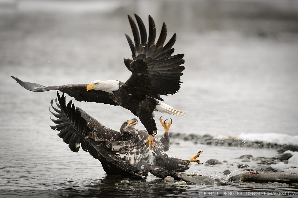 An adult bald eagle (Haliaeetus leucocephalus) knocks down an immature (juvenile) bald eagle feeding on a salmon carcass on the banks of the Chilkat River in the Alaska Chilkat Bald Eagle Preserve. It takes four to five years for a bald eagle to develop the distinctive white head, tail and yellow beak. During late fall, bald eagles congregate along the Chilkat River to feed on salmon. This gathering of bald eagles in the Alaska Chilkat Bald Eagle Preserve is believed to be one of the largest gatherings of bald eagles in the world.