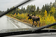 A Bull Moose crosses the Sterling Highway with little regard of oncoming traffic seen from inside a moving vehicle on a rainy day outside Homer, Alaska.