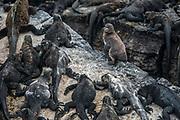 Galapagos Penguin (Spheniscus mendiculus) among Marine Iguanas (Amblyrhynchus cristatus) <br /> Punta Moreno, Isabela Island<br /> GALAPAGOS ISLANDS<br /> ECUADOR.  South America<br /> ENDEMIC TO GALAPAGOS ISLANDS