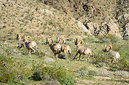 As I was approaching the saddle just south of the Coyote Mountain summit, I started hearing a loud thud sound. There were only two things I could think of that would make that sound: either a rockfall or bighorn sheep. Sure enough as I came over the hill I saw this herd of 9 in a grassy area staring at me. I never actually saw them ramming their horns together, but only heard them. They soon took off running.