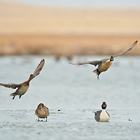 pintail drakes take flight off lake leaving drake and hen on ice
