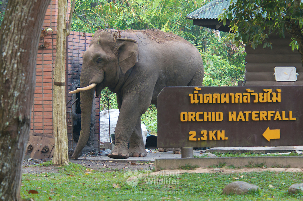 Wild male Asian or Asiatic elephant (Elephas maximus), entering part of the Khao Yai National Park visitor facilities, at dawn, in search of mineral deposits from charcoal burning.