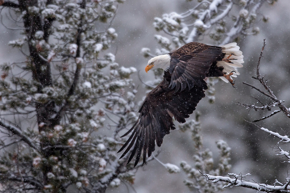 With a wingspan of up to 7.5 feet, the bald eagle is impressive sight when on the wing. In winter, these large raptors will hunt along the Shoshone River, swooping down and grabbing fish that appear at the surface of the water.