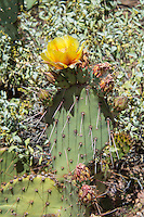 The brown-spined prickly pear (also regionally known as the tulip or desert prickly pear) is another widespread member of the Opuntia genus that is found throughout all of the American Southwestern States including Nebraska and even South Dakota and is found across most of Northern Mexico. One of the things that make this particular species so amazing is the adaptability to drastically different environments: it can be found thriving in the driest of lowland deserts to the moist, cold forests of the Rocky Mountains. As a result, there are several variable physical attributes that make identifying this species confusing at best. Springtime flowers are variable from lemon yellow, orange or pink, usually with but sometimes without a reddish center. This one was found growing in the Ajo Mountains in Southern Arizona near the Mexican Border.