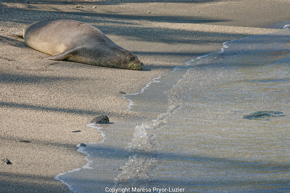 8 year old female Hawaiian Monk Seal, Monachus schauinslandi, on the beach at Pu'uhonua o Honaunau NHP, Hawaii, Critically endangered