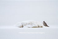 00817-00607 Gyrfalcon (Falco rusticolus) dark phase Churchill Wildlife Management Area Churchill MB