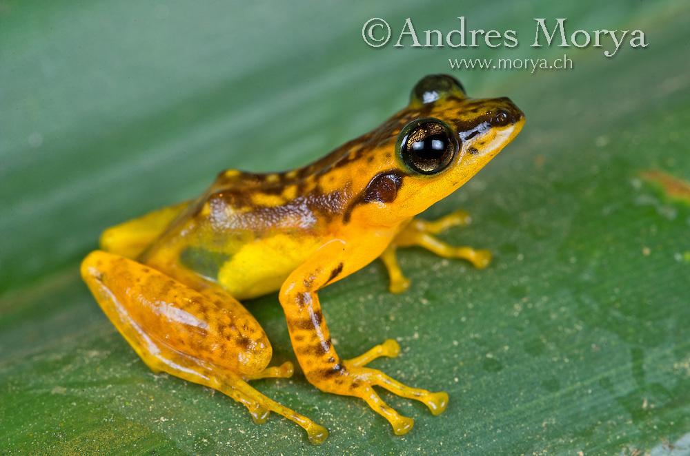 Yellow Frog,(Mantidactylus pulcher), Andasibe, Madagascar Image by Andres Morya