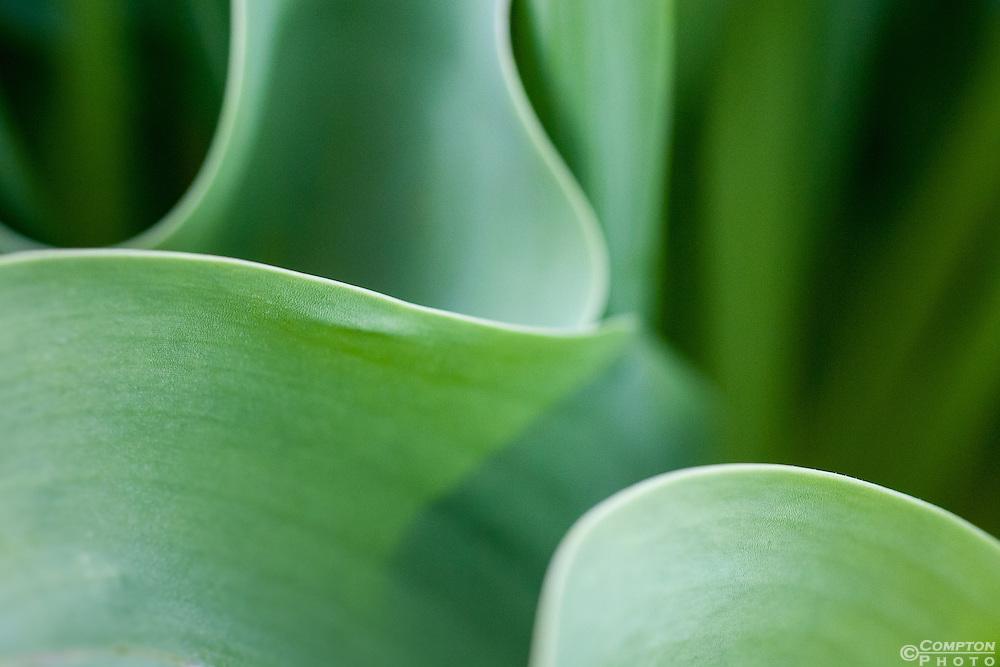 Daffodil leaves