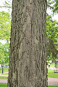 college green, MappAthens, summer, Tree Tour, Hackberry