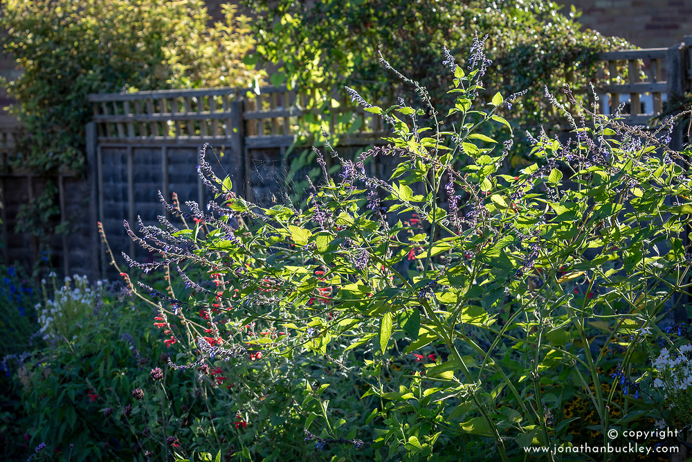 Salvia stachydifolia