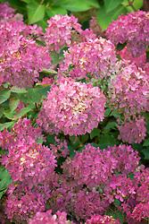 Hydrangea paniculata 'Bombshell' - showing autumn colouring