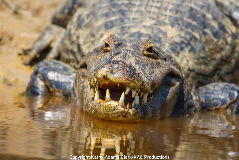 Brazil; Caiman; Caimaninae; Jacare caiman; Mato Grosso; Pantanal, reflection