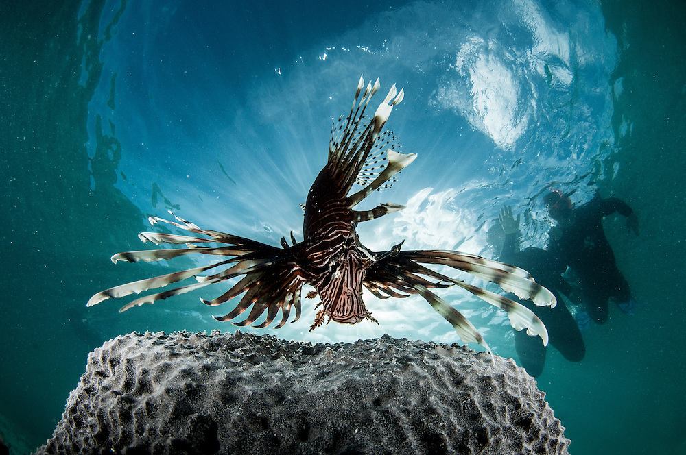 Tourists snorkel with a lionfish. While they are a beautiful species to see most tourists are intrigued to learn about their history and often leave the excursion ready to buy lionfish at local restaurants possibly saving a native fish from the pan.