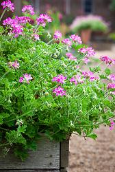 Pelargonium 'Pink Capitatum' - Pink capricorn - in wooden planter