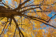 Maple Tree in fall splendor, Wakefield, Massachusetts