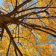 Maple Tree in fall splendor, Wakefield, Massachusetts