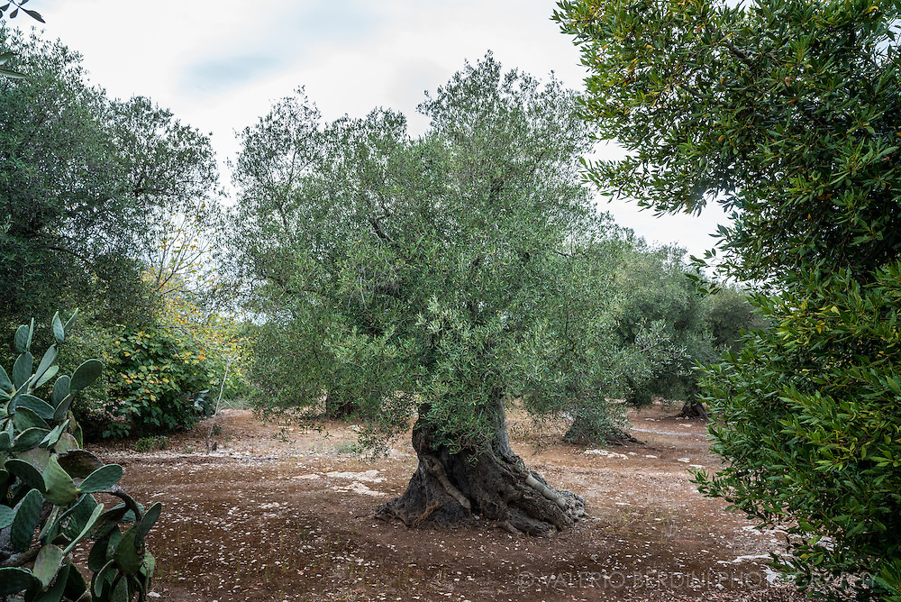 The ground under trees is kept clean before the harvest, when the farmers let the olive fall and than pick.
