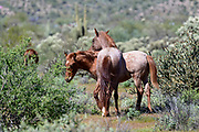 Wild Horses photography from Southern Arizona