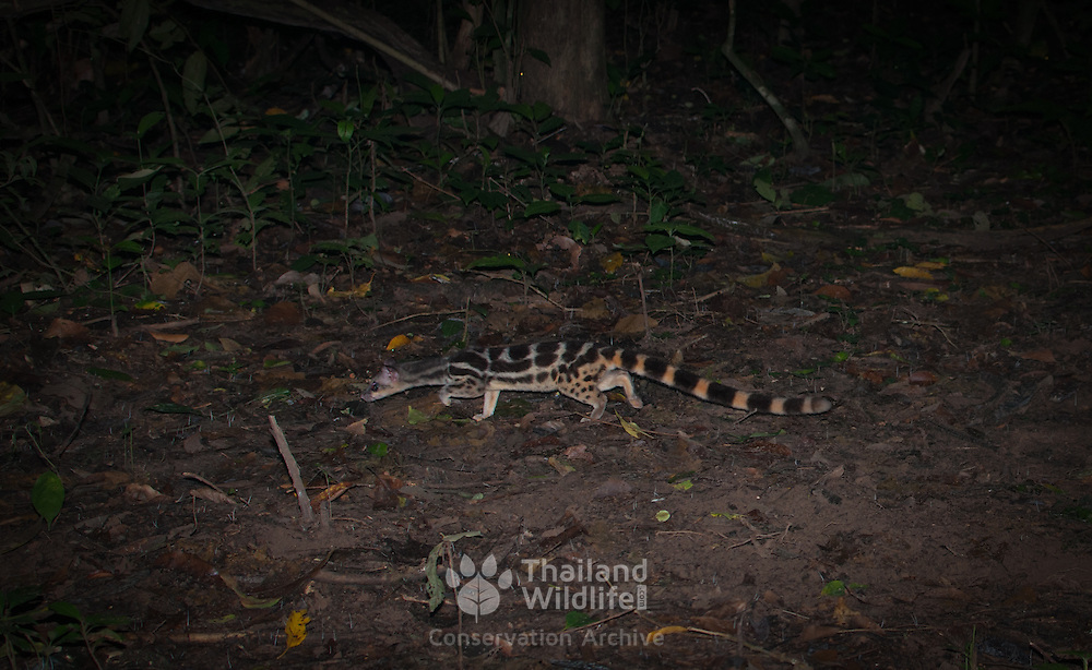 The banded linsang (Prionodon linsang) is a linsang, a tree-dwelling carnivorous mammal of Thailand.