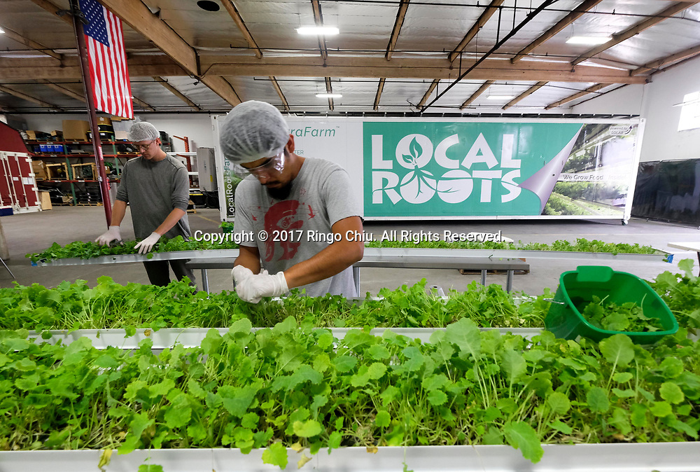 Workers at the Local Roots, a company designs, builds and operates indoor growing centers that are made from shipping containers.  (Photo by Ringo Chiu)<br /> <br /> Usage Notes: This content is intended for editorial use only. For other uses, additional clearances may be required.