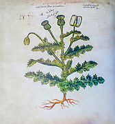 Hand drawn Papaver somniferum (opium poppy) from a Byzantine manuscript Aniciae Julianae Codex ca. 512.