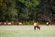 Elk in a field near the Buffalo National River in Boxley Valley.<br /> <br /> Photo by Beth Hall
