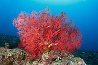 Red Sea Fan Nosy Be Madagascar  / Gorgone rouge (Gorgonacae) Nosy Be Madagascar