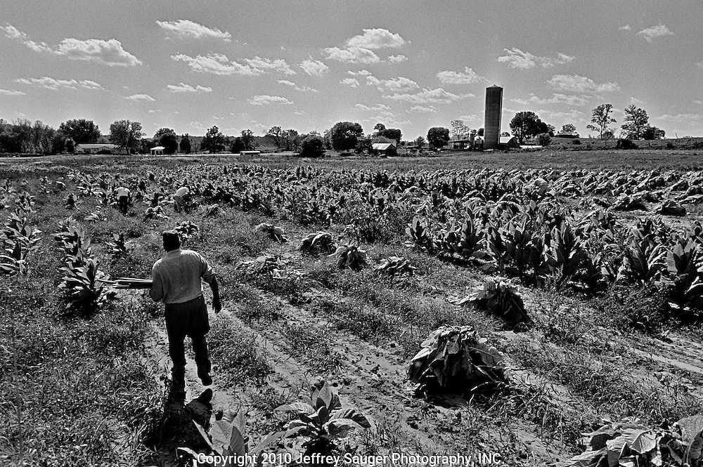 """BIDWELL, OHIO - October 1999: Bill Howard drops wooden stakes among rows of tobacco plants at his farm in Bidwell, Ohio, in October 1999. He hired Mexican migrant workers to help harvest the tobacco. """"I never had anything handed to me except a lot of work. I used to jump up at 4 and think I had to get all this work done -- it made an old man out of me. Now, I just get done what I can; I go with the flow."""" Bill said. (Photo by Jeffrey Sauger)"""