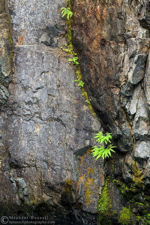 Maidenhair Ferns on the Englishman River canyon walls in Englishman River Falls Provincial Park, British Columbia, Canada