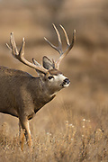 Mule deer buck during the autumn rut Trophy mule deer buck during the autumn rut