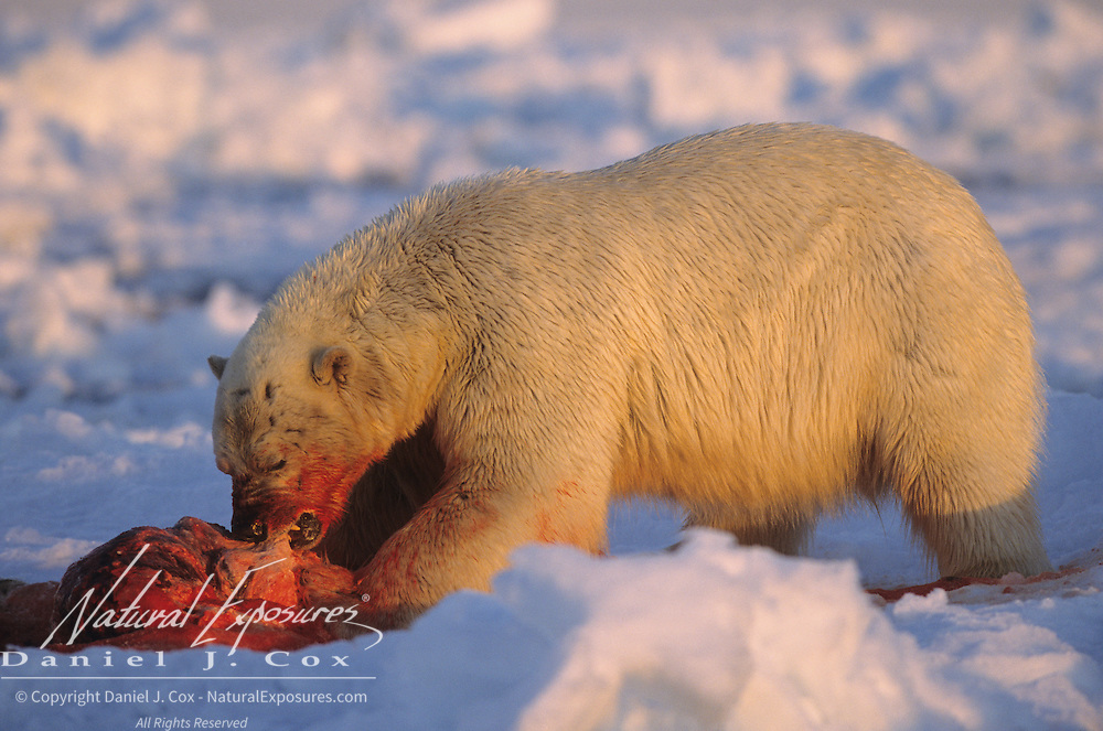 Polar Bear adult feeding on a baby walrus carcass. Nunavut Territory, Canada