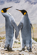 Two courting King Penguns (Aptenodytes patagonicus), St. Andrews Bay, South Georgia, South Atlantic Ocean