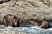 Two adult grizzly bear boars known as Braveheart and Ghost fish for chum salmon in the upper McNeil River falls at the McNeil River State Game Sanctuary on the Kenai Peninsula, Alaska. The remote site is accessed only with a special permit and is the world's largest seasonal population of brown bears.