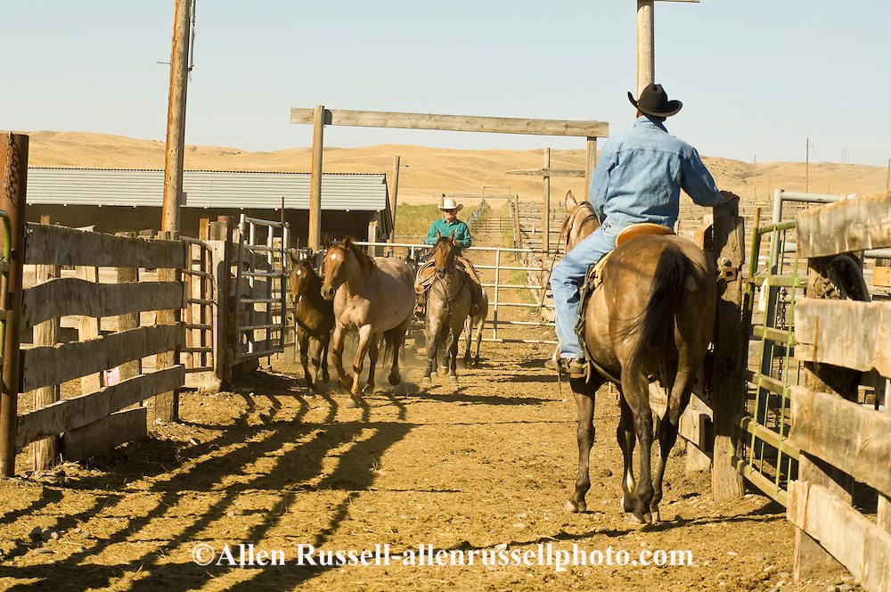 Cowboys working in corrals separating horses for horse sale, Montana, <br /> MODEL RELEASED